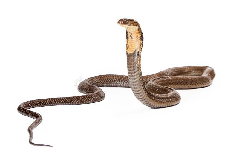 Koning Cobra Snake Looking aan de Kant royalty-vrije stock afbeeldingen