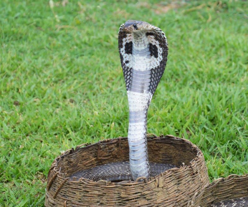 Koning Cobra Snakes royalty-vrije stock foto's