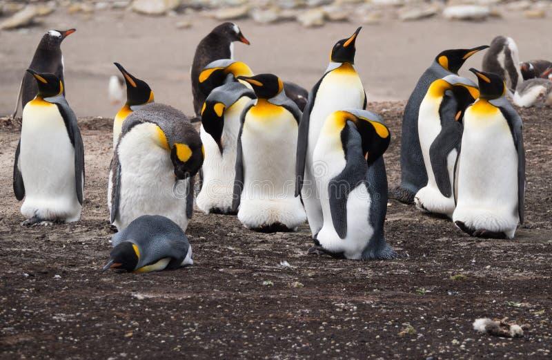 Koning en Gentoo-Pinguïnen die zich in een Groep bevinden stock afbeeldingen
