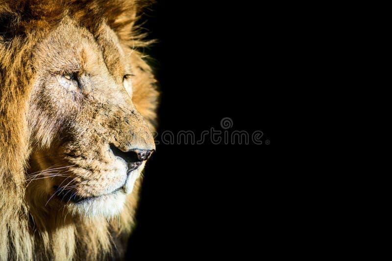 Koning Lion royalty-vrije stock afbeeldingen