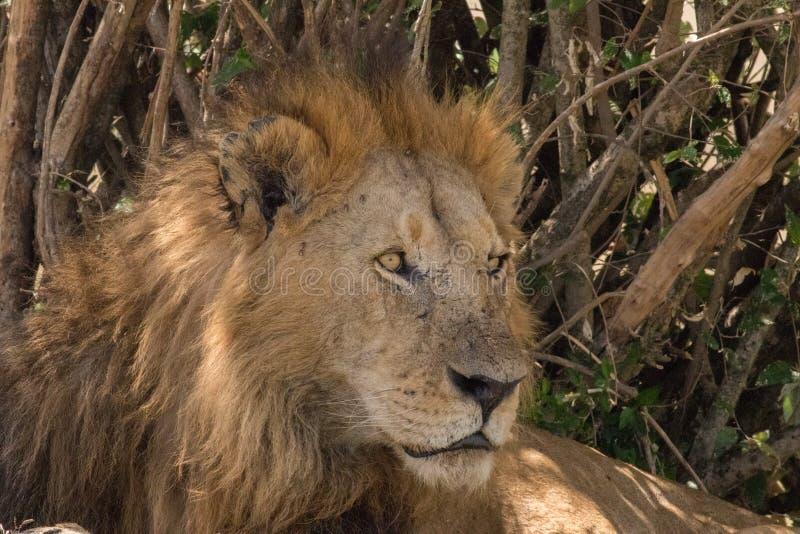 Koning Male Lion Portrait in Masai Mara royalty-vrije stock fotografie