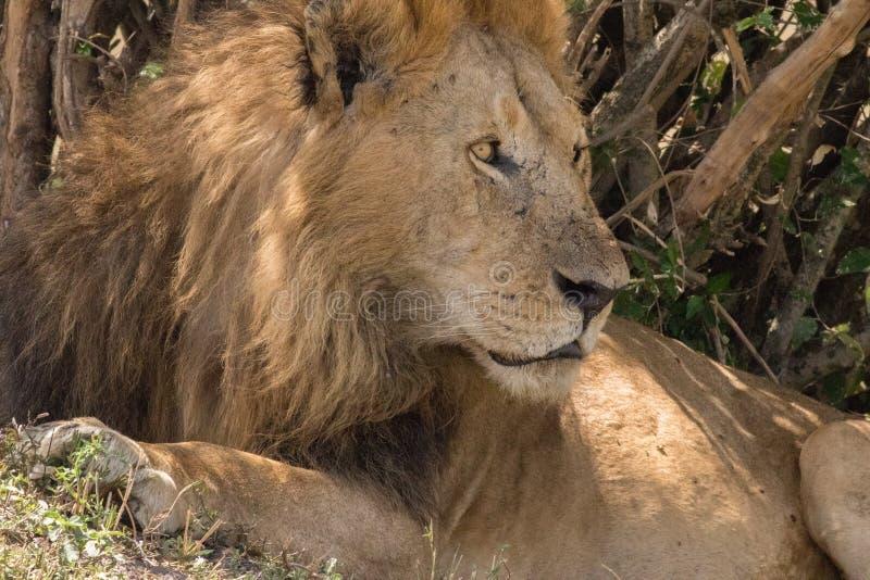 Koning Male Lion Portrait in Masai Mara royalty-vrije stock afbeelding