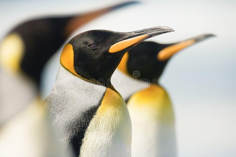 Koning Penguin royalty-vrije stock foto