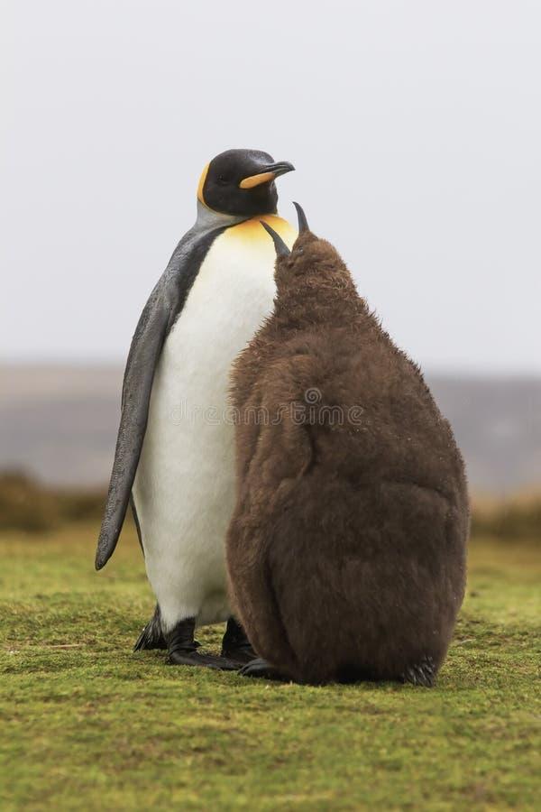 Koning Penguin die (Aptenodytes-patagonicus) het is kuiken in de voeden stock afbeelding