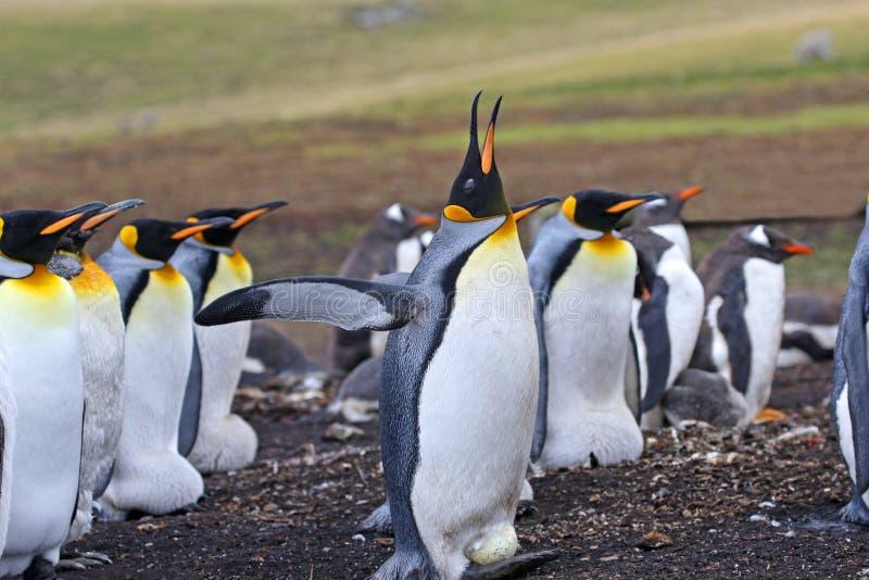 Koning Penguin met Ei boven voeten Het zingen bij een roekenkolonie in Falkland Islands royalty-vrije stock foto's