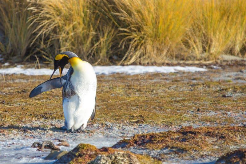 Koning Penguin met olie wordt verontreinigd die proberen die te gladstrijken royalty-vrije stock fotografie