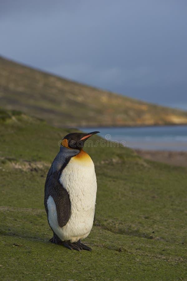 Koning Penguin op Saunders-Eiland royalty-vrije stock foto's