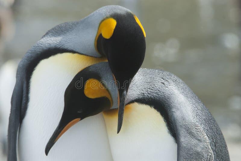 Koning Penguin in Zuid-Georgië stock afbeeldingen