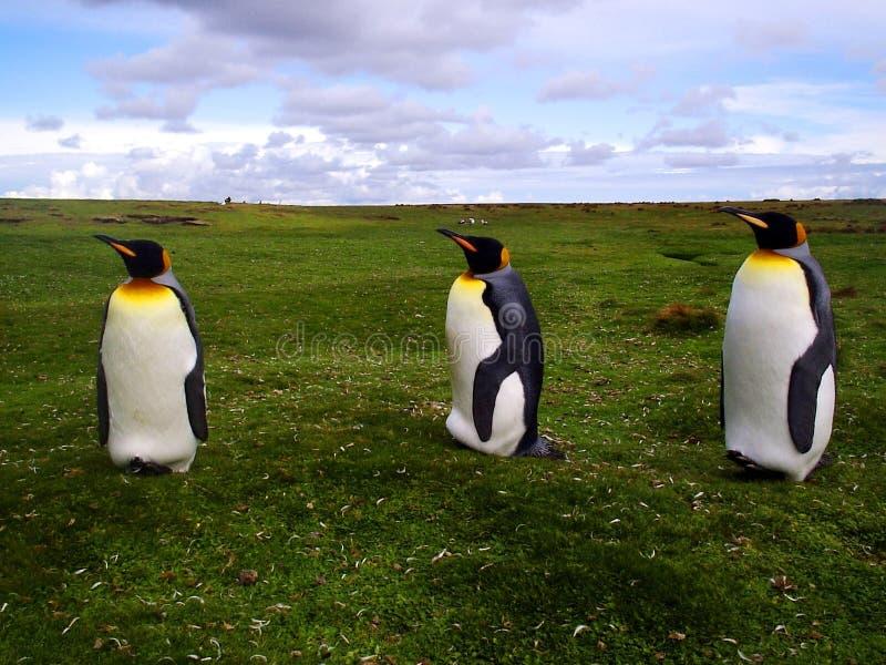 Koning Penguins stock foto