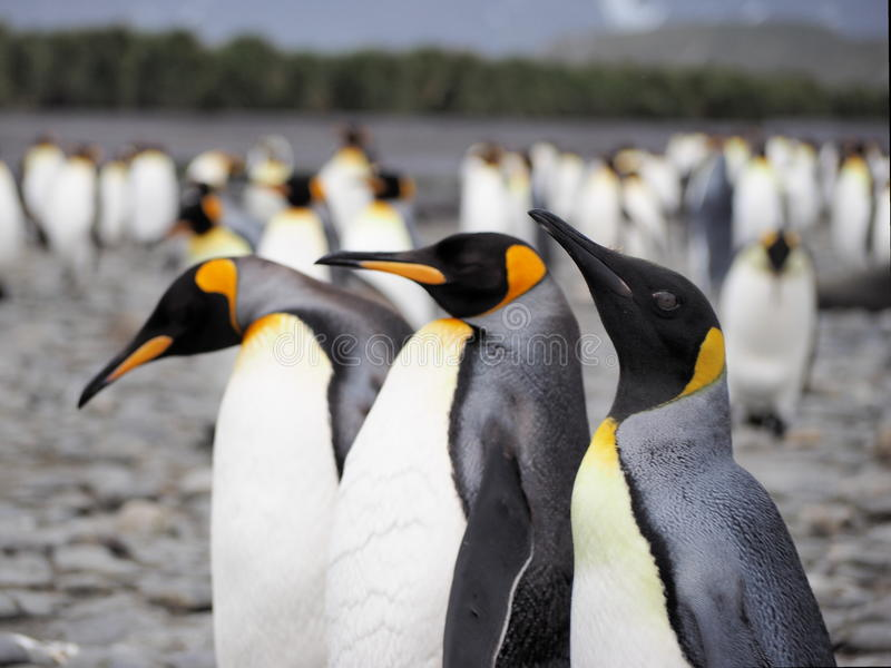 Koning Penguins royalty-vrije stock afbeelding