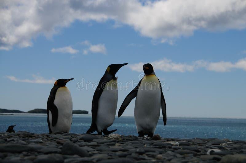 Koning Penguins op de vlaktes van Salisbury royalty-vrije stock foto's