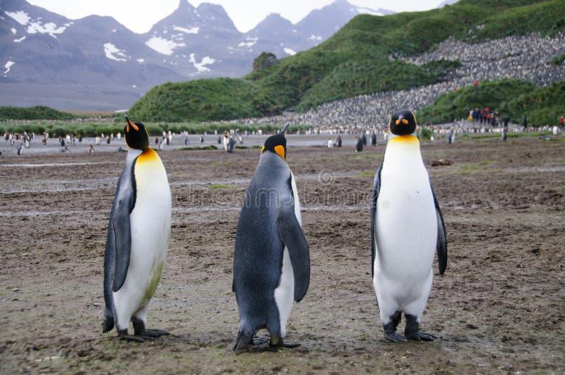 Koning Penguins op de vlaktes van Salisbury royalty-vrije stock foto