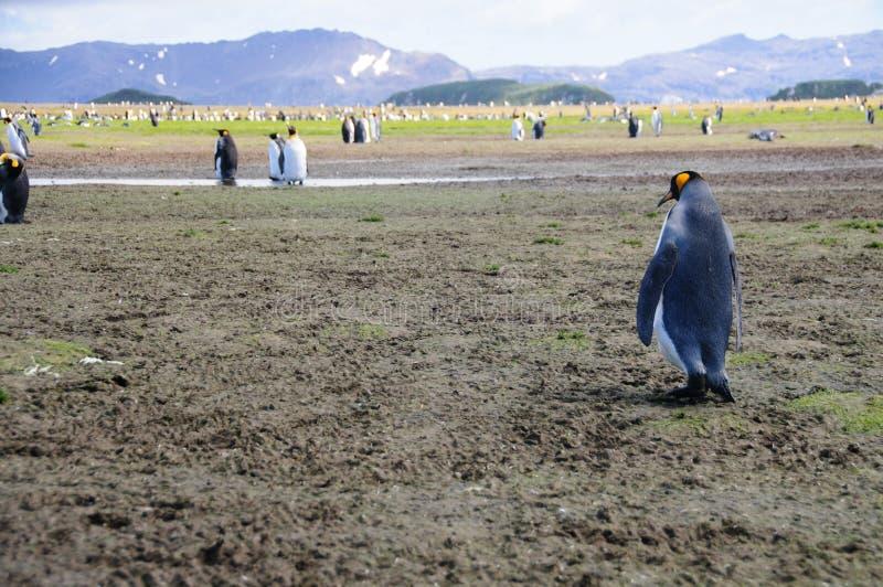 Koning Penguins op de vlaktes van Salisbury royalty-vrije stock afbeelding