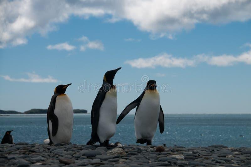 Koning Penguins op de vlaktes van Salisbury stock afbeelding