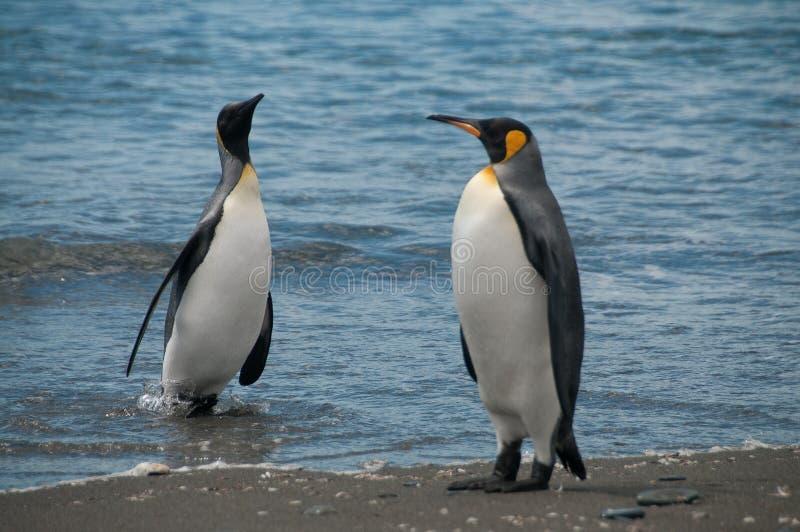Koning Penguins op de vlaktes van Salisbury stock foto's