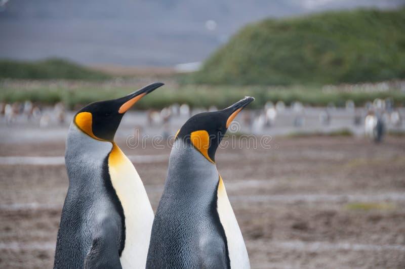 Koning Penguins op de vlaktes van Salisbury royalty-vrije stock fotografie