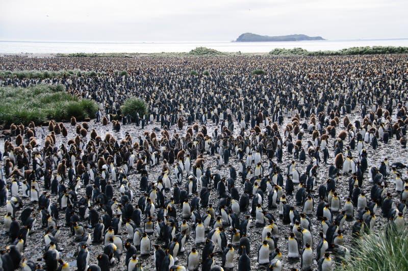 Koning Penguins op de vlaktes van Salisbury stock foto