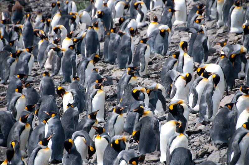 Koning Penguins op de vlaktes van Salisbury stock fotografie
