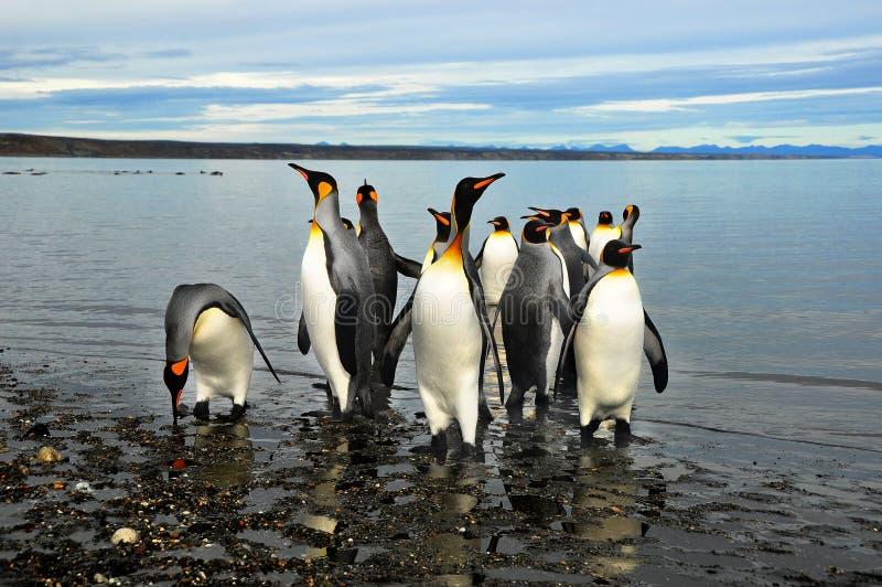 Koning Penguins in Southamerica royalty-vrije stock foto's