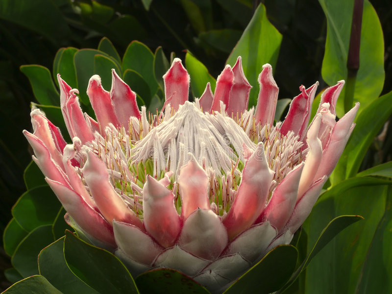 Koning Protea, Detail stock foto