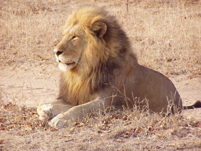 Koning van bushveld royalty-vrije stock fotografie