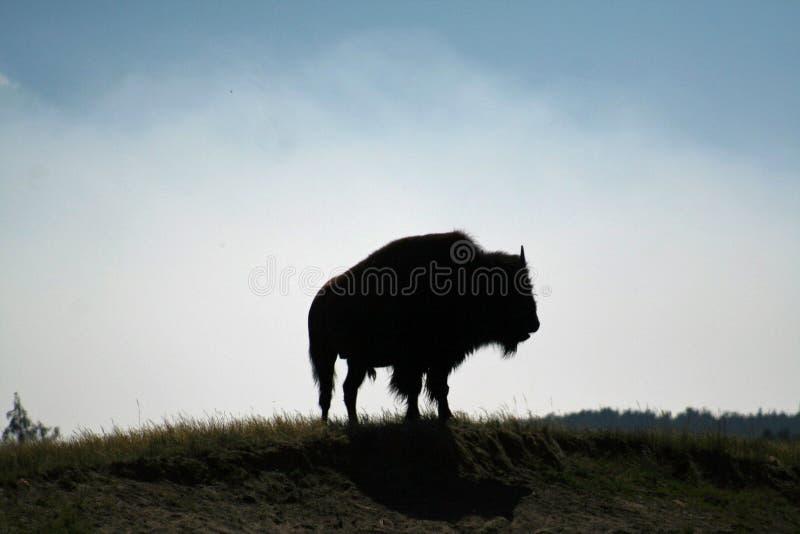Koning van de bizon stock afbeelding