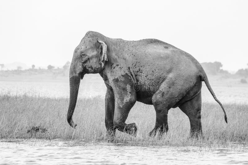 Koning van de wildernis royalty-vrije stock foto's