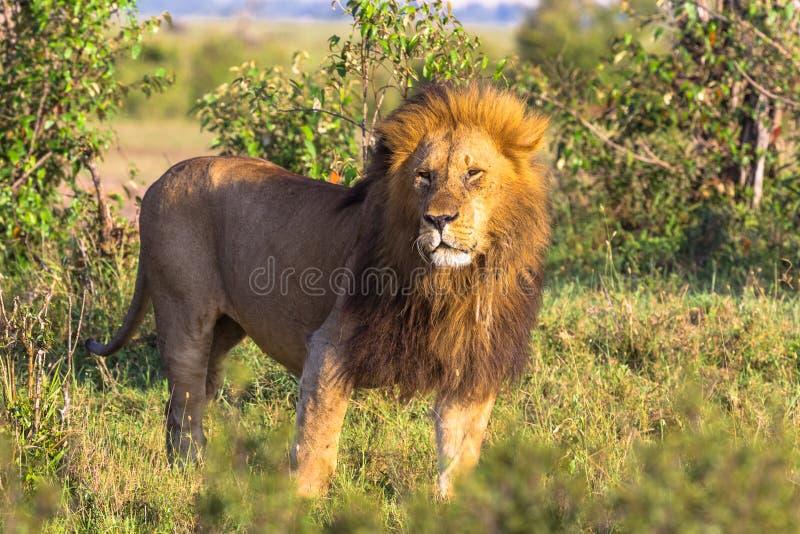 Koning van wilde aard van Afrika Grote leeuw van Masai Mara, Kenia royalty-vrije stock afbeelding