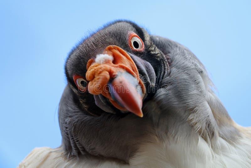 Koning Vulture stock afbeeldingen