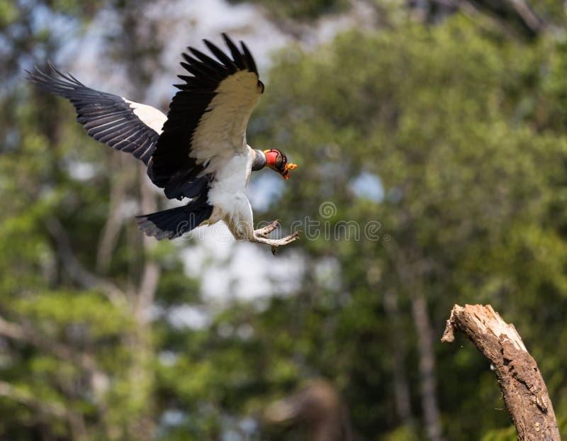 Koning Vulture royalty-vrije stock foto