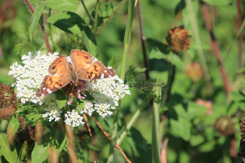 Koningin Anns Lace en vlinder stock fotografie