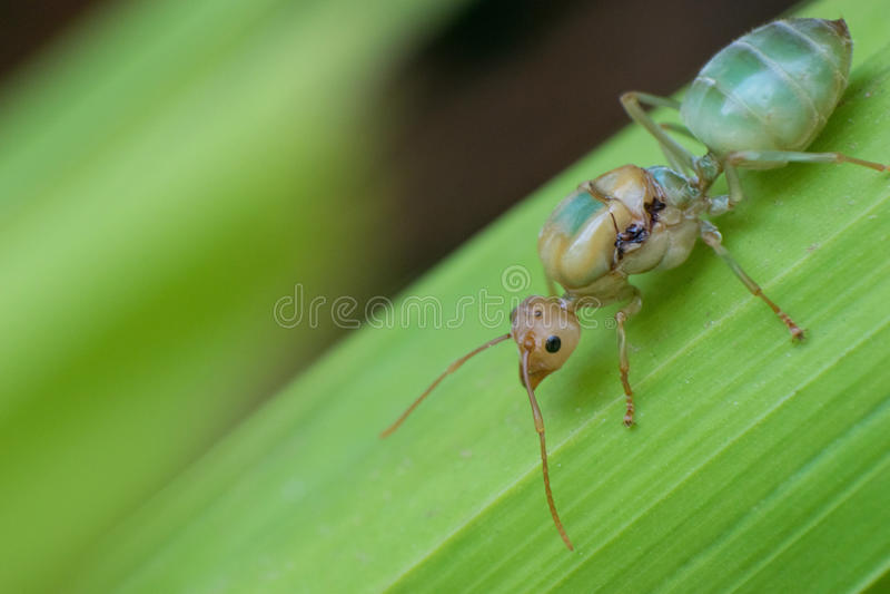 Koningin Red Ant stock foto