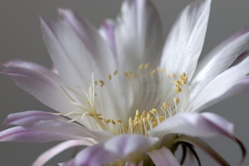Koningin van de nacht (selenicereusgrandiflorus) stock fotografie
