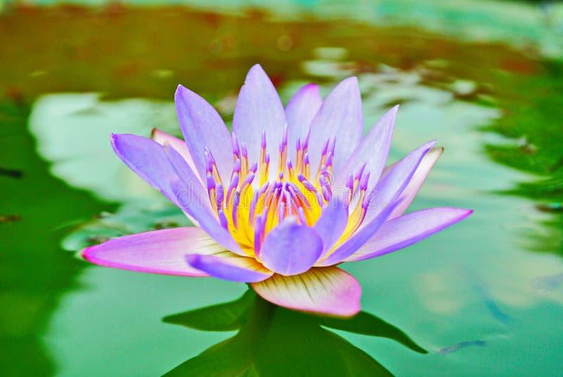 Koningin van het mooie lotusbloemsap royalty-vrije stock fotografie