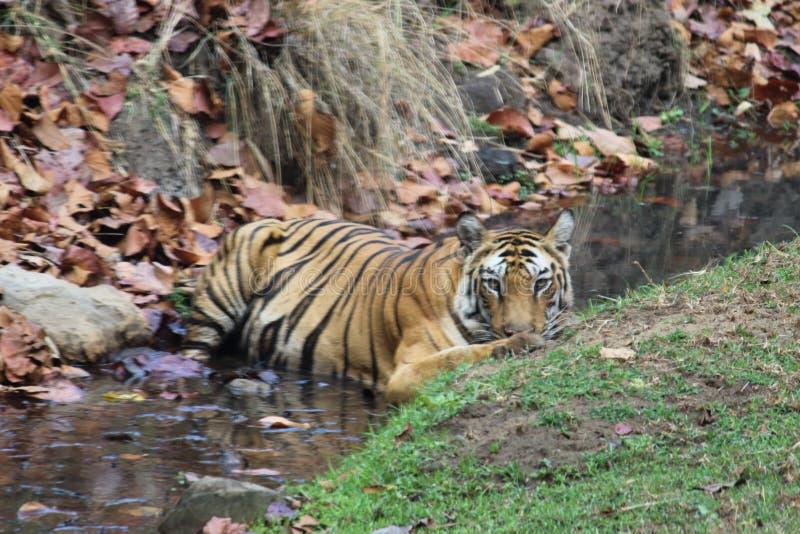 Koningin van wildernis, tijgerin royalty-vrije stock foto