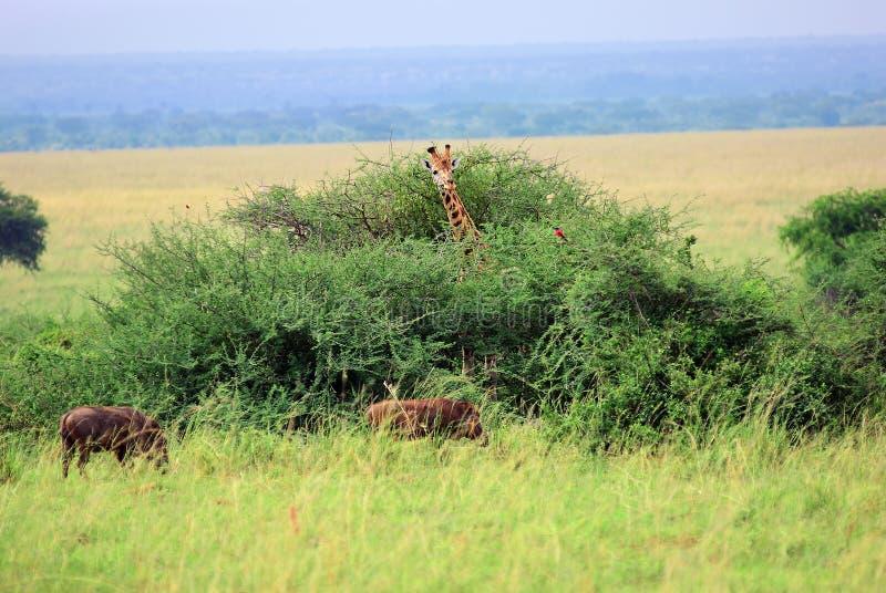 Koninginelizabeth nationaal park bij dageraad Oeganda stock afbeeldingen