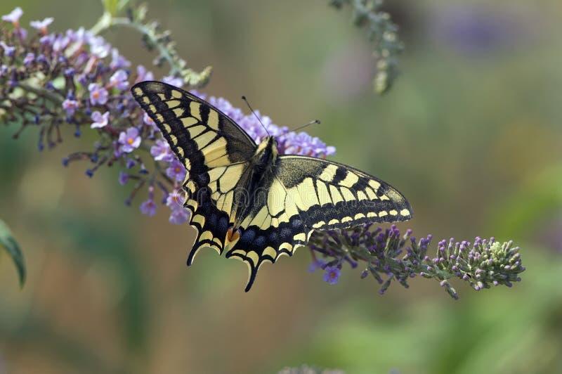 Koninginnenpage Swallowtail, Papilio machaon fotografering för bildbyråer