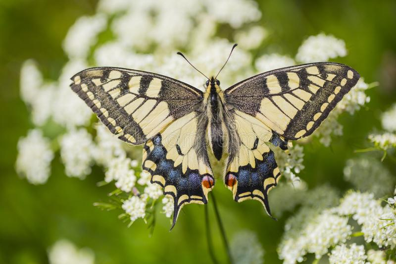 Koninginnenpage, Swallowtail, Papilio machaon royalty-vrije stock afbeelding