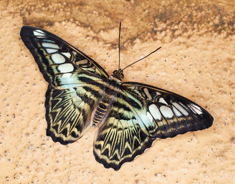 Konings swallowtail vlinder stock fotografie