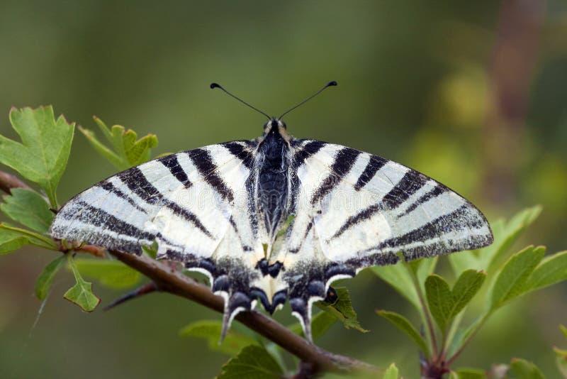 Koningspage, вряд Swallowtail, podalirius Iphiclides стоковое фото