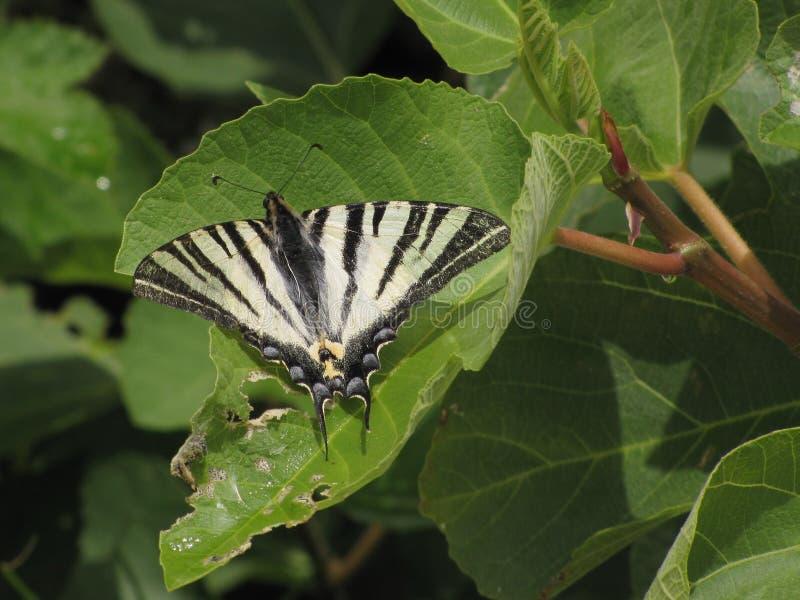 Koningspage -- Scarce Swallowtail -- Iphiclides Podalirius Free Public Domain Cc0 Image