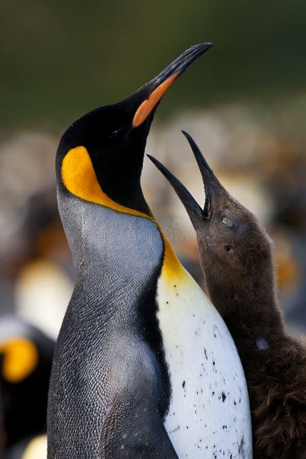 Koningspinguïn, Koning Penguin, Aptenodytes-patagonicus stock foto
