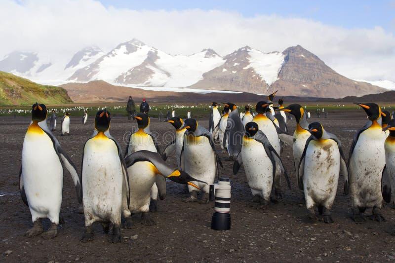 Koningspinguïn konung Penguin, Aptenodytespatagonicus fotografering för bildbyråer