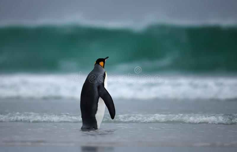 Koningspinguïn die zich voor een stormachtige oceaan bevinden stock afbeeldingen
