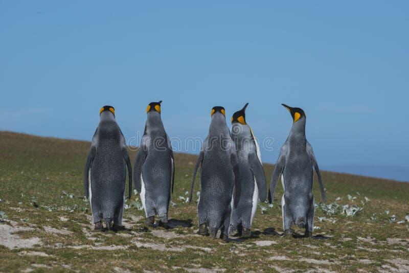 Koningspinguïnen in Falkland Island stock afbeelding