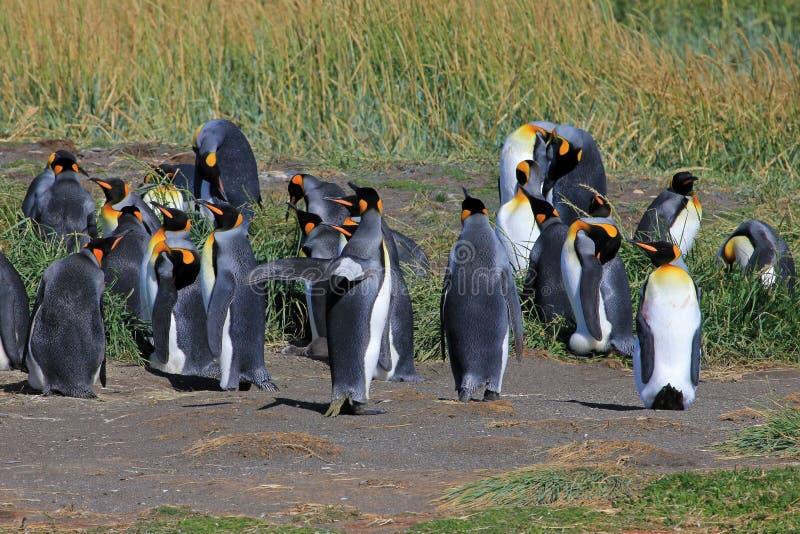 Koningspinguïnen het leven wildernis in Parque Pinguino Rey, Patagonië, Chili stock afbeeldingen