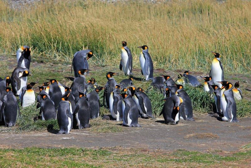 Koningspinguïnen het leven wildernis in Parque Pinguino Rey, Patagonië, Chili royalty-vrije stock fotografie