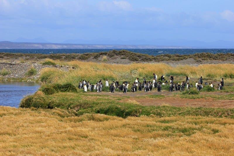 Koningspinguïnen het leven wildernis in Parque Pinguino Rey, Patagonië, Chili royalty-vrije stock afbeeldingen