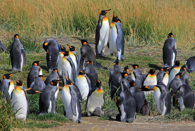 Koningspinguïnen het leven wildernis in Parque Pinguino Rey, Patagonië, Chili stock fotografie
