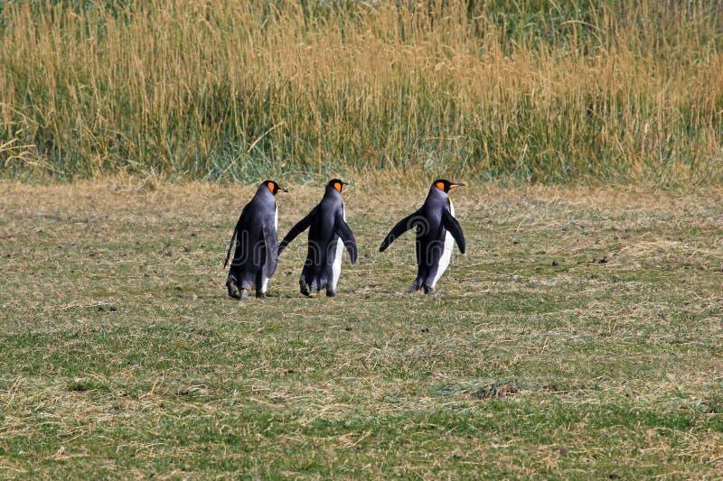 Koningspinguïnen het leven wildernis in Parque Pinguino Rey, Patagonië, Chili royalty-vrije stock foto